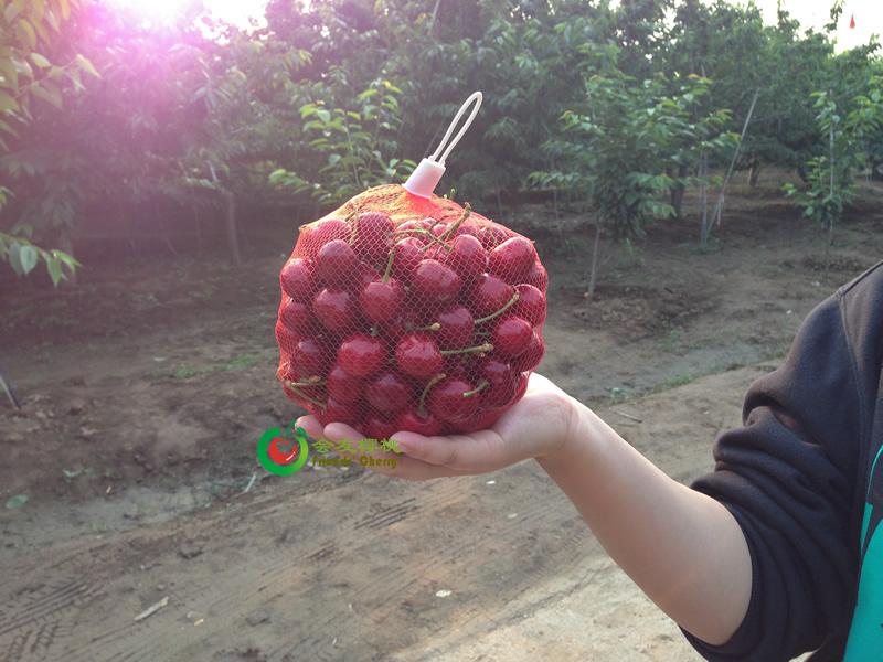 优质的大樱桃怎么种出来?